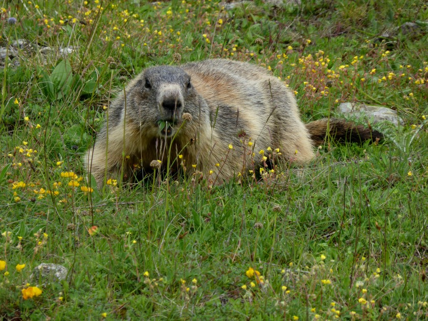 02.06.2016 Mont Dauphin marmots and fort (3)