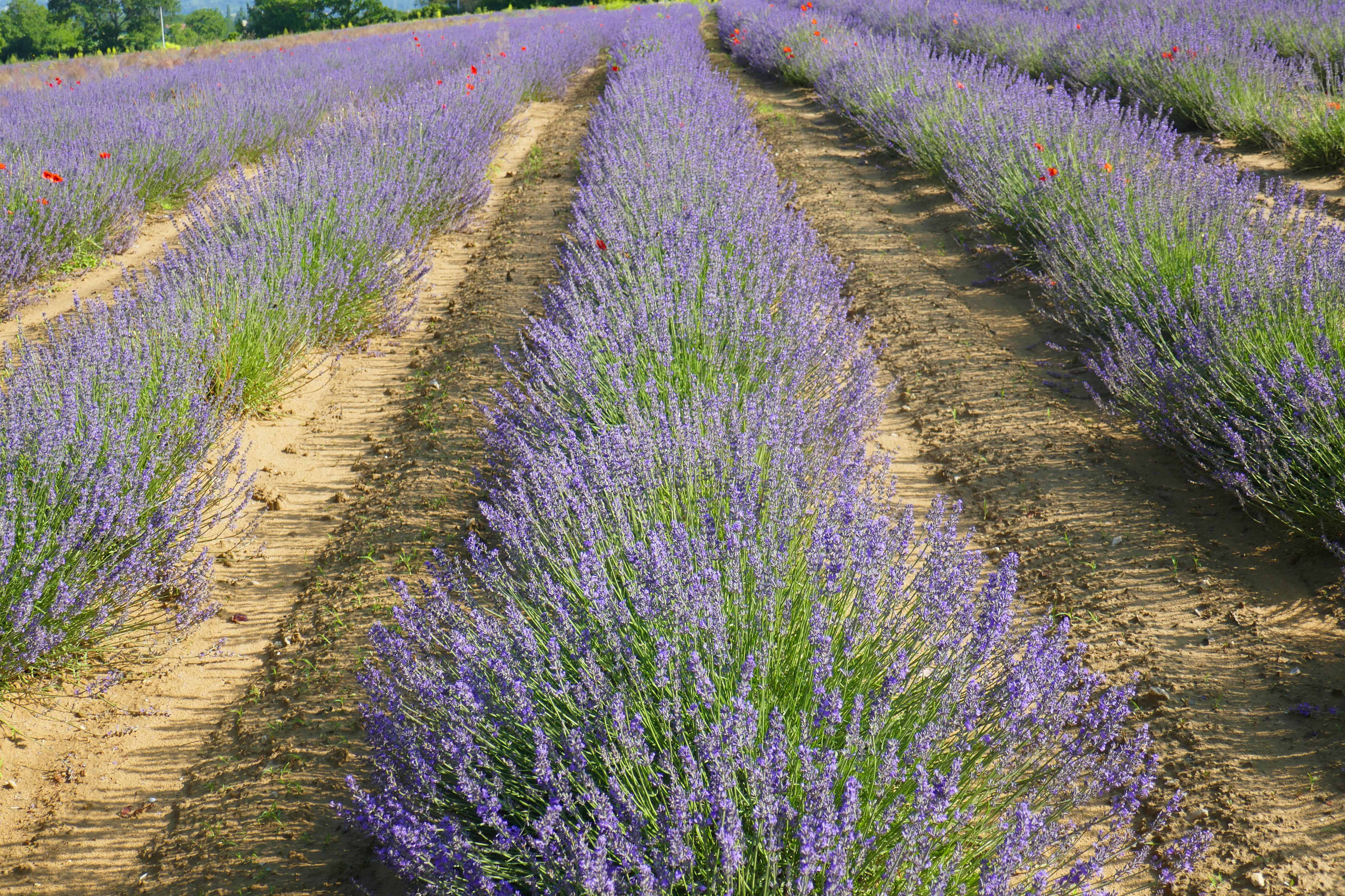 France 2018 Lavender