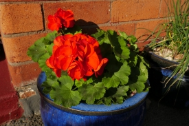 St James Park geranium