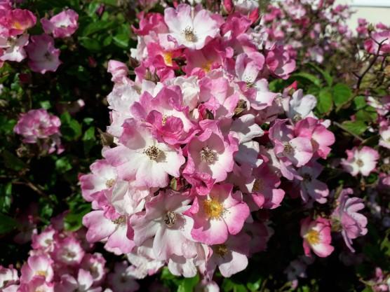 2020 June front garden bush